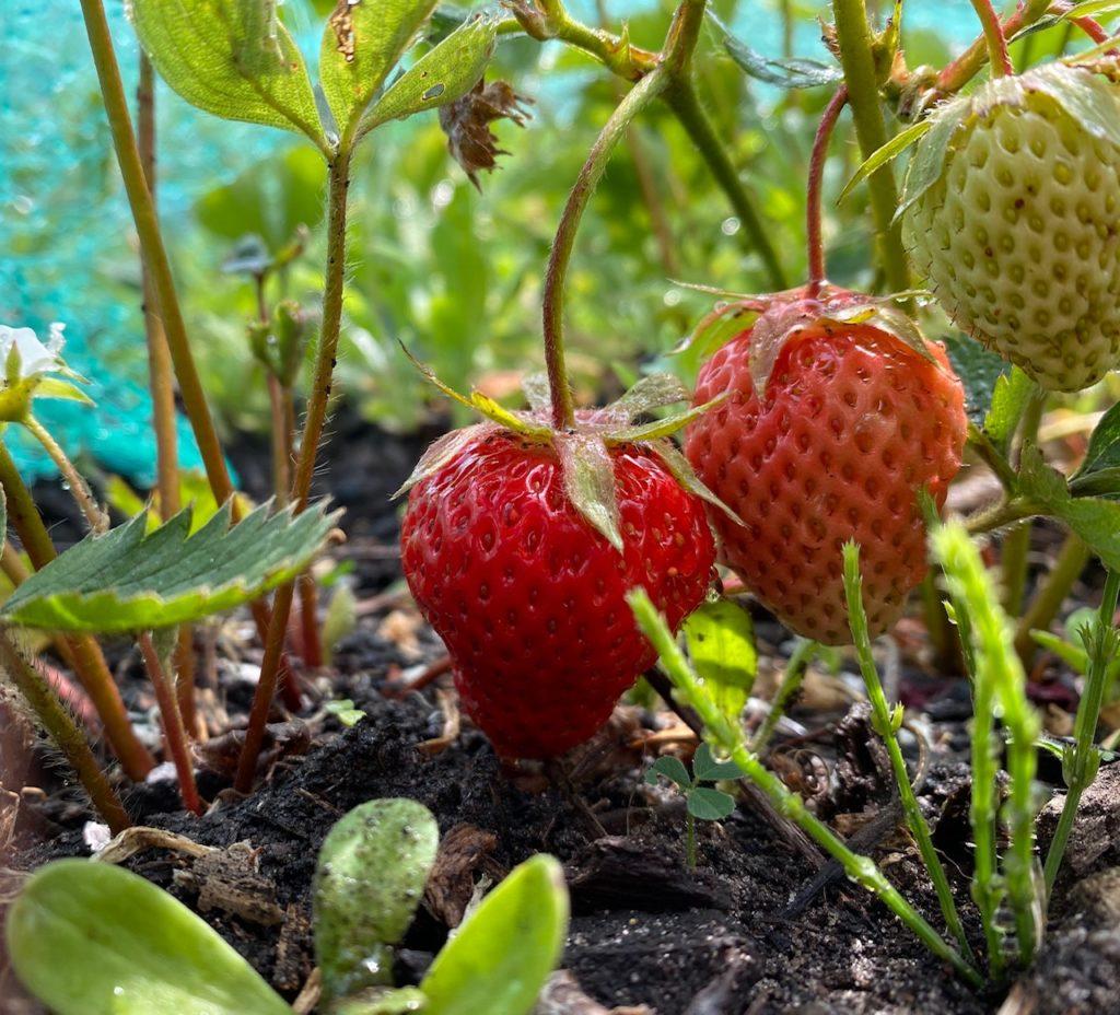 Foto aardbeienplant met een aantal vruchten